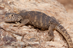 Uromastyx aegyptius microlepis - young individual - ein Jungtier