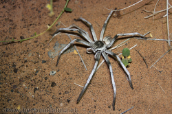 The large nocturnal Wahiba spider is a sand dwelling quite common Arachnid and preys on insects and young geckos - Die große nachtaktive Wahiba Spinne jagt aktiv nach Insekten und jungen Geckos