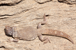 Uromastyx benti - this species occurs only in a limited area within the Dhofar - diese Art kommt nur in einem begrenzten Gebiet im Dhofar vor