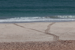 A fresh sea turtle track at the Dhofar beach. Nesting beaches are mostly fenced - Eine frische Spur einer Meeresschildkröte am Strand im Dhofar. Niststrände sind meistens abgezäunt