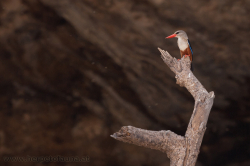Halcyon leucocephala - Grey Headed Kingfisher - Graukopfliest