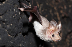 Rhinopoma sp. - Mouse tailed bat - Mausschwanzfledermaus