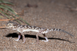 Stenodactylus leptocosymbotus - even on the beach of the Batinah - sogar am Strand in der Batinah