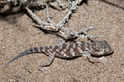 Stenodactylus leptocosymbotus - where geckos are, there should be also their predators - wo Geckos leben, sollte es auch deren Feinde geben